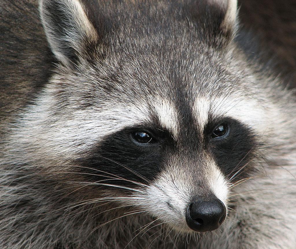 1024px raccoon procyon lotor 2