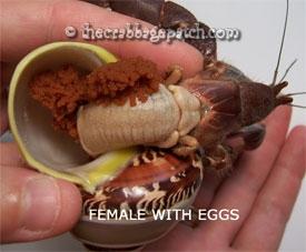 hermit_crab_femaleweggs1.jpg